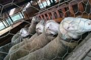 Contato com ovelhas confere adicional de insalubridade para trabalhador rural